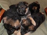 Высокопородные щенки немецкой овчарки