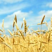 Закупаем зерновые и масличные у производителя большими партиями